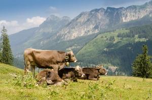 Viehwirtschaft mit Kühen auf einer Weide in den Bergen von Tirol