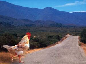 why did the chicken cross the road8