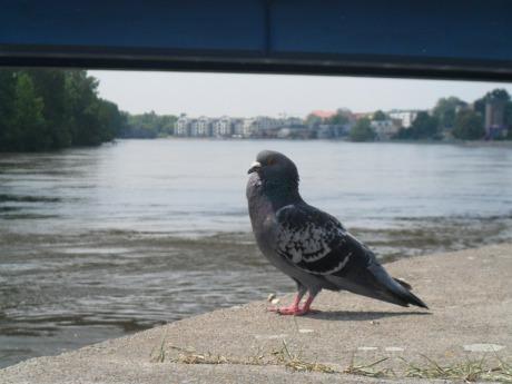 Taube_mit_Blick_auf_die_Elbe
