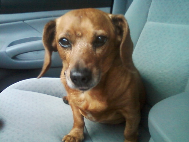 The On-Line Buzzletter: Update: Our 16 Year Old Dachshund is Drinking Water  Obsessively